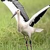 巣立ったコウノトリは雌 羽毛からDNA検査
