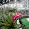 テヌイフォリアの開花とストレプトフィラの話