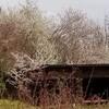 バンクーバー島の3月下旬はプラムの花の季節