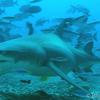 世界の海で出会った魚図鑑【レモンザメ】