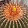 Uebelmannia ペクチニフェラ黄刺変種