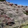 川見四季桜の里 豊田市