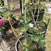 バラの剪定をしつつ、キュウリを植え替えました