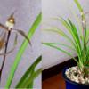 1月の寒蘭とポトス  寒蘭の残りの一輪が開花して二輪咲きの満開になった