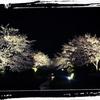 桜の、毒に立ち向かふ。
