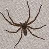 年末の大掃除で子どもが大絶叫!そこにはとんでもない大きい蜘蛛が・・・