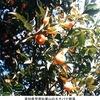 橘は柑橘類の古名:古事記や万葉集の「橘」はコウジミカン,ダイダイの類? 現在,植物名「タチバナ」は,日本で唯一の野生柑橘類であるCitrus tachibana.日本各地(沖縄〜静岡)に群生地があるものの絶滅危惧種に.橘が現在の食用柑橘類の原種のひとつである可能性も.美味しくないものの,系統的にはマンダリンの一品種と言える位置にあり,台湾を経由して日本に到達したと考えられます. 橘 3