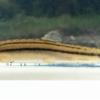 琵琶湖カワニナ巡り+オオガタスジシマドジョウ採集