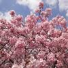 スターバックスは桜色🌸