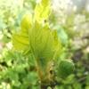 果樹の芽出し・・・。