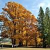 今週の一枚・巨木ユリノキ