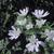 オルレアが咲きました!