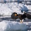 2019年3月1日の鳥撮り(2/2)-羅臼近海