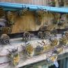 ミツバチたちも冬支度