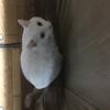 祝!100個目の記事(∩´∀`)∩オッドアイの白猫 その5(=゚ω゚)ノ by夫