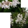 似て非なるたくさんのウツギ.卯の花は「ウツギ」.我が家で咲いたのは「ヒメウツギ」. ウツギの名を戴いた花たちは,植物分類上はバラバラながら,どれも「やや地味だけれどよく見れば美しい」 ウツギは古来愛されてきて,万葉集には24首もあります. ウツギ / 万葉集 うのはなの, さきちるおかゆ, ほととぎす, なきてさわたる, きみはききつや 作者不詳