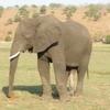 アフリカのゾウには足が6本存在する!?!?