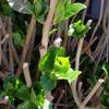 紫陽花の新芽 2019 3/8
