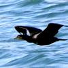 銚子漁港で飛翔するウミウと防波堤で休むウミウ幼鳥