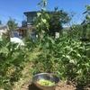 【一部加筆修正】夏野菜の収穫