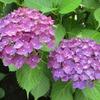 ちょっとピンボケ、梅雨には紫陽花が似合う。