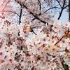 「桜」は日本を表現するモチーフとして優秀!融通が利く=使いやすいのはナゼか