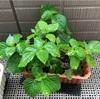 【家庭菜園4ヵ月目】手塩にかけて育てた大葉を包丁で切るなんて、そんな残酷なこと僕にはできない