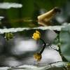 実光院の河骨、見ごろと開花状況。