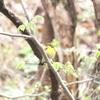 「ネッタ峠探鳥会/野鳥の会宮城県支部」で、キビタキを初撮影! 4/27、その4