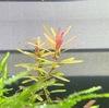 セイロンロタラ植栽8ヶ月目