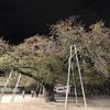 先週の土曜日に夜桜を見に行った