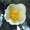 今日の誕生花「ナツツバキ=サラソウジュ」仏教三大聖樹と間違われています!