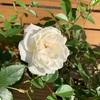 バラが咲き進んできました