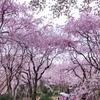 京都の原谷苑で桜に溺れる