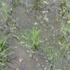 ふたつ目3つ目の耕起田んぼで、最後のチェーン除草をしました(田植え後3週目)