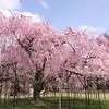 京都上賀茂神社の斉王桜が圧巻だった【関西花見旅行#終】