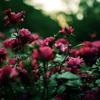 ノスタルジックでスタイリッシュに薔薇を撮るには
