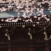 飛騨の春景色【国分寺・すのり川沿い】
