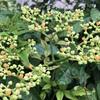 ヤブガラシ(藪枯らし)の花