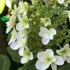 咲き始めた紫陽花、ニオイバンマツリ、ニゲラ・ペルシャンジュエル、アマリリス、イキシア、ジギタリス、洋蘭たち、アゲハチョウの蛹