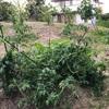 初心者の家庭菜園 野菜の成長は激しいですね