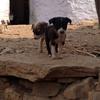 旅先動物シリーズ ⑧インド・ノラ子犬たち