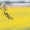 サクラは葉桜に:舟川べり