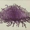 紫の深海クラゲを描いた銅版画