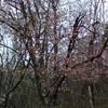 山桜・真空管(ロシア製6J1P-EV)の破損