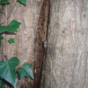 ヒグラシ、カナカナとも呼ぶセミ
