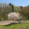 能登の八重桜は満開でした