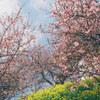 河津桜の色とネガフィルムの色 #filmphotography