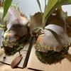 【ビカクシダ】貯水葉に迫力が出てきて、新しい胞子葉も出てます。