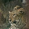 ペルシャヒョウ Panthera pardus saxicolor